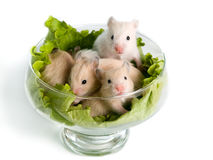 Hamsters at salad Stock Photos