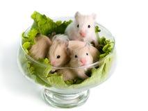 Hamsters at salad