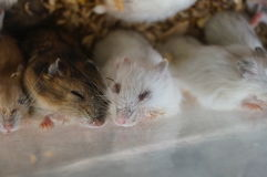 Hamsters are sleeping. Royalty Free Stock Photography