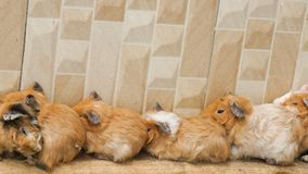 The hamsters are sleeping together near the wall royalty free stock photo
