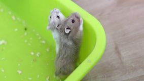 Hamsters trying to escape the pan. Medium shot in full HD format stock video footage
