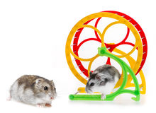 Hamsters Royalty Free Stock Photography