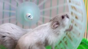2 hamsters on wheel in cage Stock Image