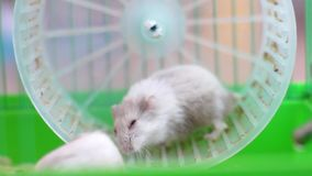 2 hamsters on wheel in cage Stock Photography