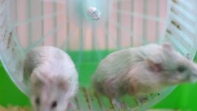 2 hamsters on wheel in cage