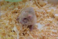 Hamsterställning Fotografering för Bildbyråer