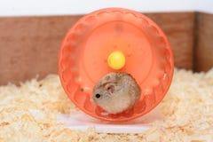 Hamsterstuk speelgoed dat pret is Royalty-vrije Stock Afbeelding