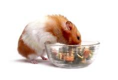 hamstersyrian Arkivfoton