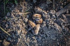 Hamstrar på lera Arkivbilder