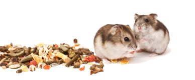 Hamstrar på vit bakgrund, hamstrar äter torr mat Fotografering för Bildbyråer