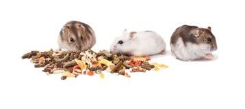Hamstrar på vit bakgrund, hamstrar äter torr mat Arkivbild