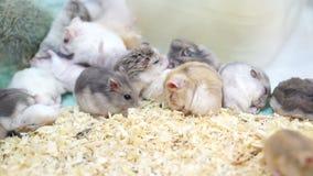 Hamstrar som tillsammans spelar och äter stock video
