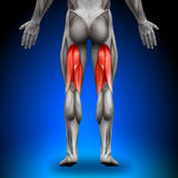 Hamstrings - Anatomy Muscles Royalty Free Stock Image