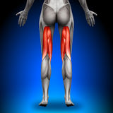 Hamstrings - Female Anatomy Muscles Stock Photo