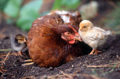 Han. Hen with two little chicks Royalty Free Stock Photo