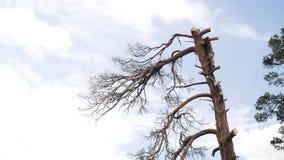 Han använder en chainsaw, och han går på en stam Man i ett träd som sågar honom med en chainsaw stock video