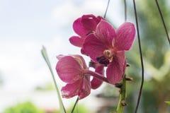 Han blommar av den Spathoglottis plicataen Blume fotografering för bildbyråer