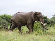 Han den stora afrikanska elefanten betas i savann royaltyfria foton