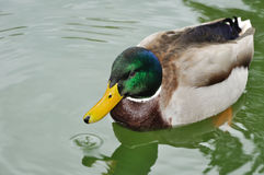 Han-ducka simning Fotografering för Bildbyråer