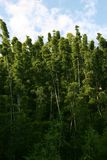Hana Bamboo Forrest. Bamboo clumps in a Hawaii Bamboo forrest Stock Photo