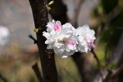 Hana Peach Royaltyfria Bilder