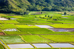 Hanalei Valley Details. Taro fields in Hanalei Valley, Kauai Royalty Free Stock Images