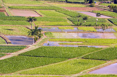 Hanalei Valley and Taro Fields Royalty Free Stock Images