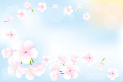 Hanami - bakgrund för körsbärsröda blomningar Fotografering för Bildbyråer