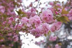 Hanami de la flor de cerezo Fotografía de archivo libre de regalías