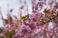 Hanami de la flor de cerezo imagenes de archivo