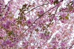 Hanami de la flor de cerezo foto de archivo