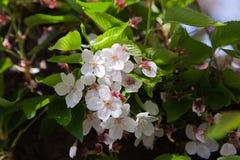 Hanami de la flor de cerezo Foto de archivo libre de regalías