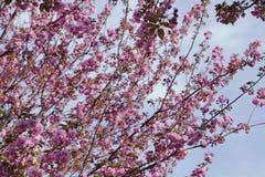 Hanami de la flor de cerezo fotos de archivo
