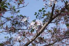 Hanami för körsbärsröd blomning Fotografering för Bildbyråer