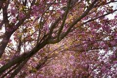 Hanami för körsbärsröd blomning Arkivbild
