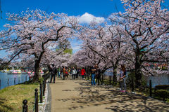 Hanami festival Stock Photography