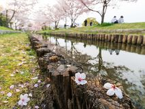 Hanami in Japan during cherry blossom season Stock Photo