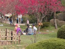 Hanami party. Is a kind of picnic in honor of the beauty of new cherry flowers season in Japan.The families and friends group gather and eat outdoor under Royalty Free Stock Image