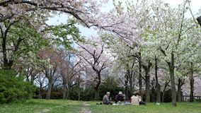 Hanami, picnic with friend to see Sakura, cherry blossom, Japan in April. Spring in Japan can only mean one thing: cherry blossom. Sandwiched between the long stock photography