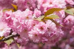 Hanami or sakura season in Uzhgorod in Ukraine. Fresh sakura or cherry as abstract blurred background Stock Photography
