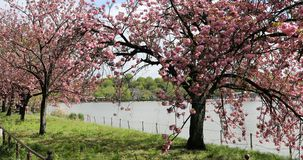 Hanami in Ueno Park. Spring cherry trees in full bloom during Hanami along Shinobazu Pond in Ueno Park, a park near Ueno Station, central Tokyo. Ueno Park is stock video footage