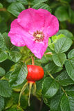 Hanche de Rose Photo stock