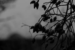 Hanche noire et blanche morte Image stock