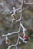 Hanches givrées d'un briar (canina de rosa) Image stock