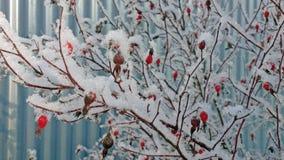 Hanches sur un buisson dans une neige pelucheuse Image libre de droits