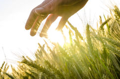 Hand över vetefält Royaltyfria Bilder