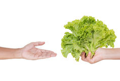 Hand accept a lettuce. On white background Stock Images
