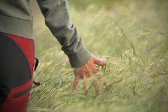 Hand across the wheat. A young woman walking through a wheat field. Closeup on hand. Envirtonmental concept stock photos