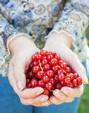 Hand of adult holding red currants Royalty Free Stock Photo
