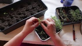 The hand of a adult woman are planting the seedlings into containers with the soil. stock video